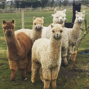Sheriff Alpacas